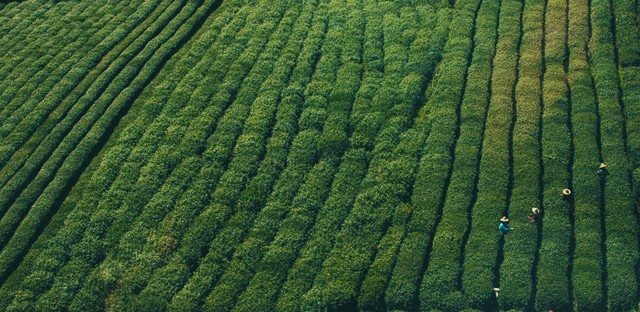 Harvesting the many types of Japanese Green Tea