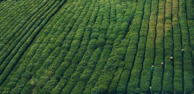 Harvesting the many types of Japanese Green Tea
