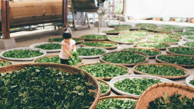 Sorting The different types of green tea